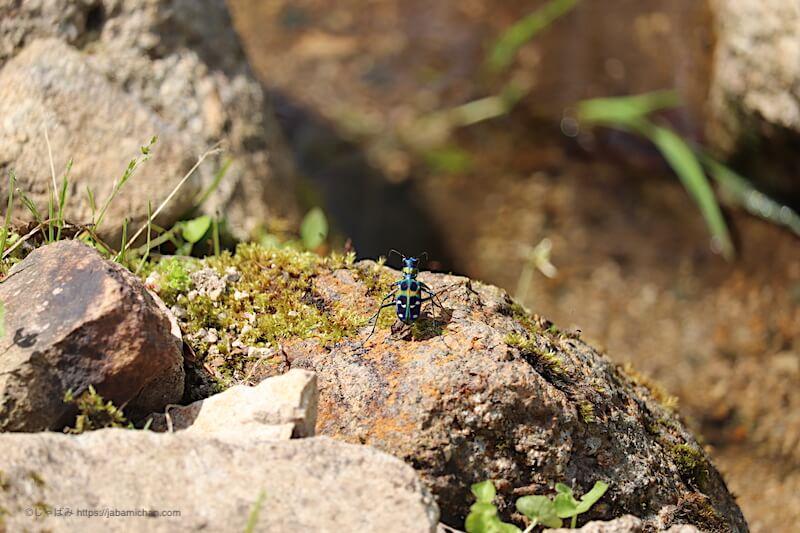 六甲高山植物園 ハンミョウ