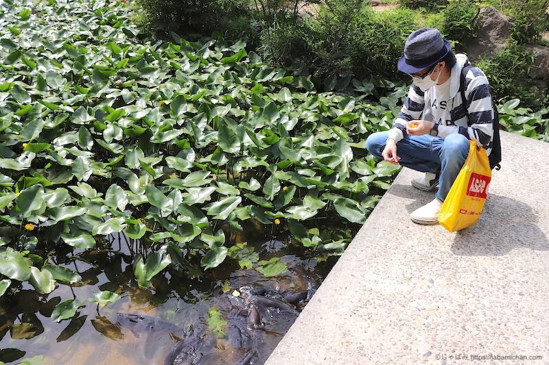 六甲高山植物園 コイ えさやり